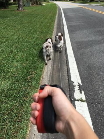 walking cocker spaniels